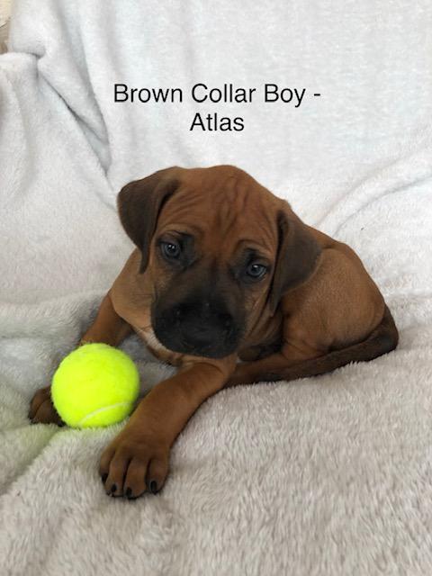 Rhodesian Ridgeback Puppies For Sale | WMINN