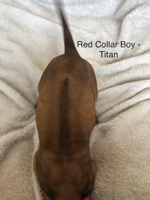 Titan Kennels Red Baby